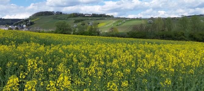 4. Tourenvorschlag: Von Walluf  durch die Felder nach Frauenstein und zurück