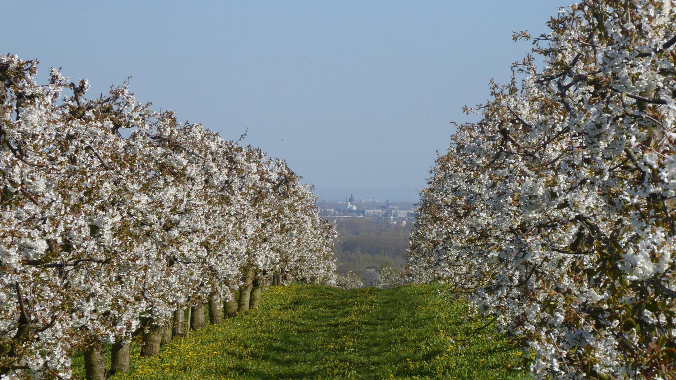 Die Kirschbaumblüte auf dem Weg von Walluf nach Frauenstein genießen